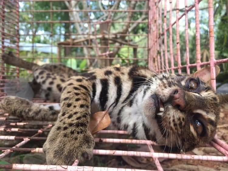 Leopard cat rescued after being hit by car in Thalang | The Thaiger