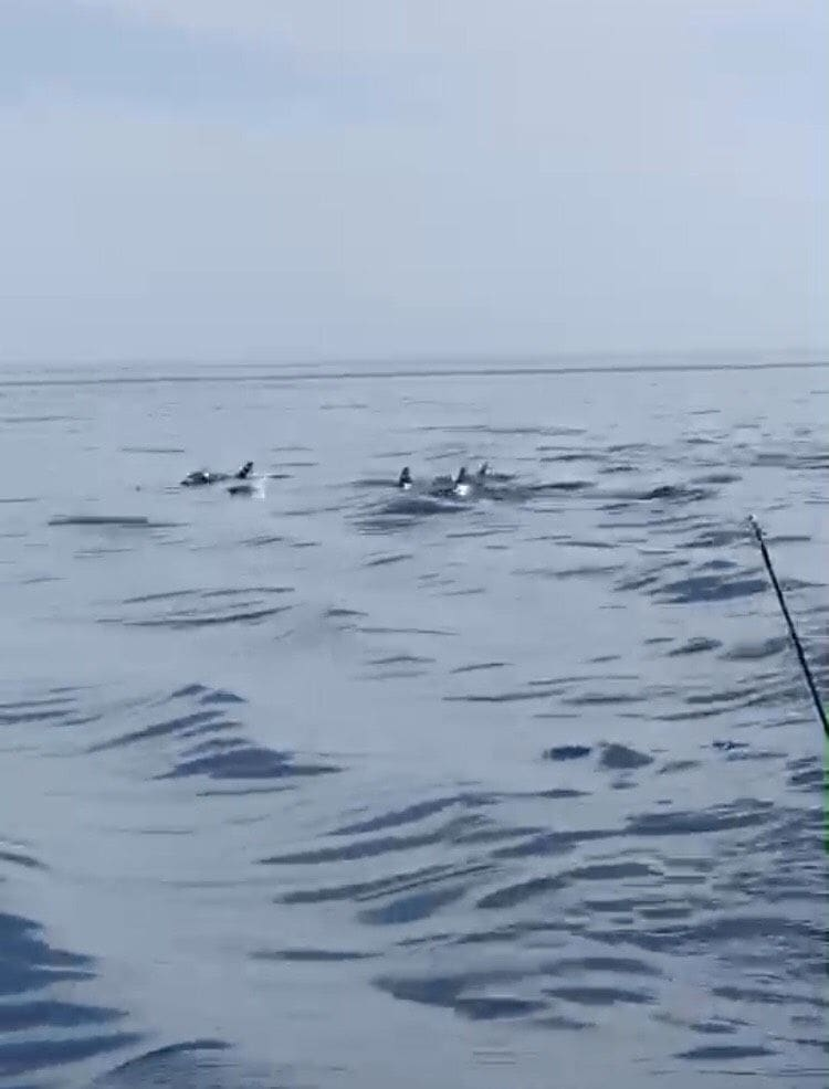 Pod of more than 10 dolphins spotted off Phuket - VIDEO | News by Thaiger