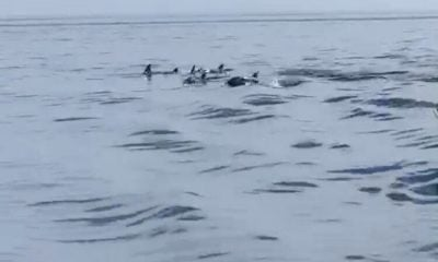 Pod of more than 10 dolphins spotted off Phuket – VIDEO | The Thaiger