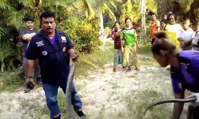 Six metre king cobra caught by rescue workers in Trang – VIDEO | The Thaiger