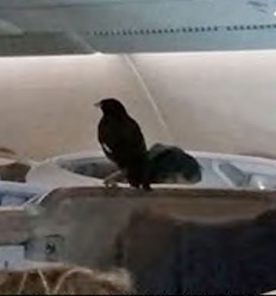 Business class bird stowaway in Singapore Airlines flight | The Thaiger