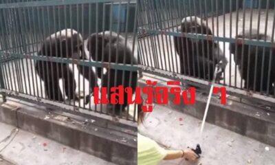 [คลิป] ลิงชิมแปนซีนิสัยดี หยุดเพื่อนไม่ให้แกล้งคน พร้อมช่วยส่งไม้เซลฟี่คืน | The Thaiger