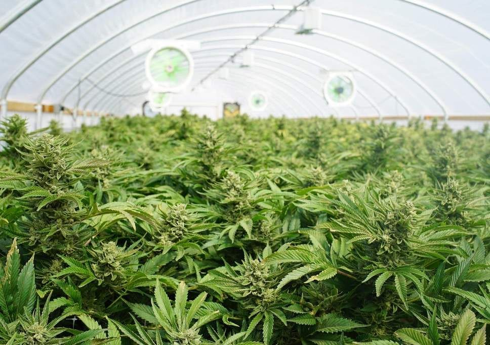 Medical cannabis crops to be tightly controlled | Thaiger