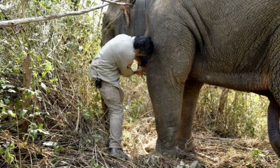 Thai 'hijacking' elephants get GPS collar trackers | The Thaiger
