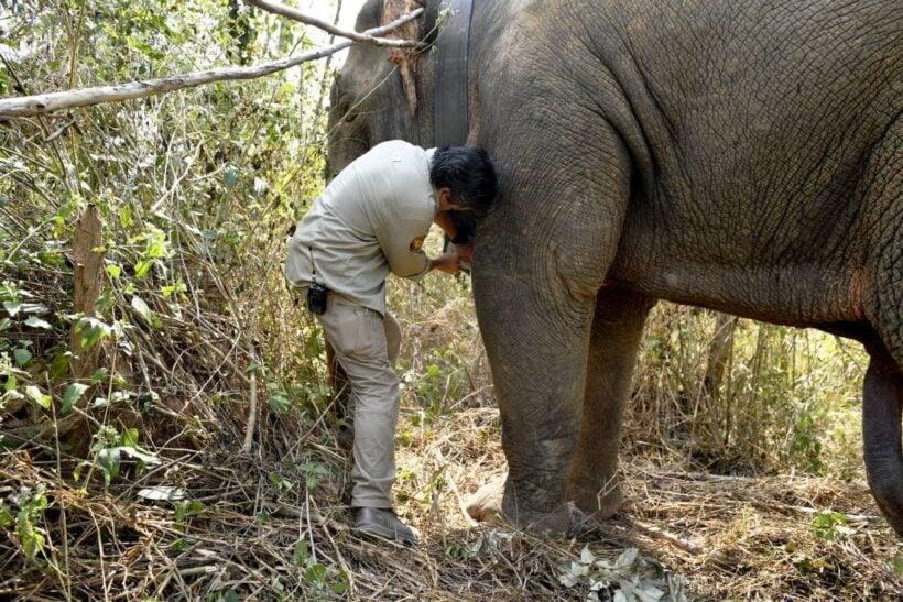 Thai 'hijacking' elephants get GPS collar trackers | The Thaiger
