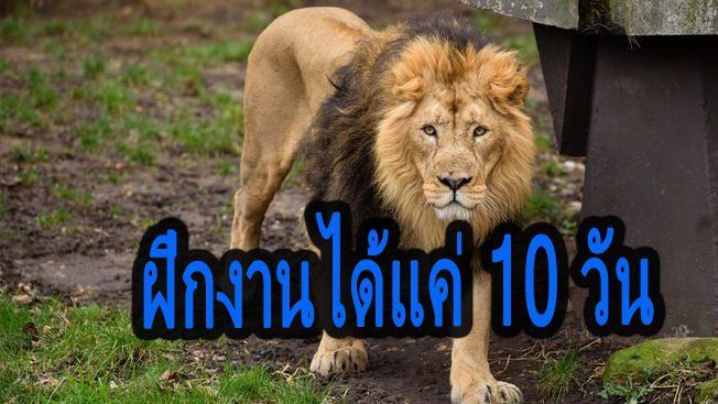 สะเทือนขวัญ! บัณฑิตจบใหม่ ถูกสิงโตขย้ำดับคากรง หลังฝึกงานได้แค่ 10 วัน | The Thaiger