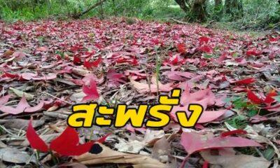 ท่องเที่ยวไทย : ใบเมเปิ้ลแดงผลิใบสะพรั่งเต็มเขตรักษาพันธุ์สัตว์ป่า จ.เลย   The Thaiger