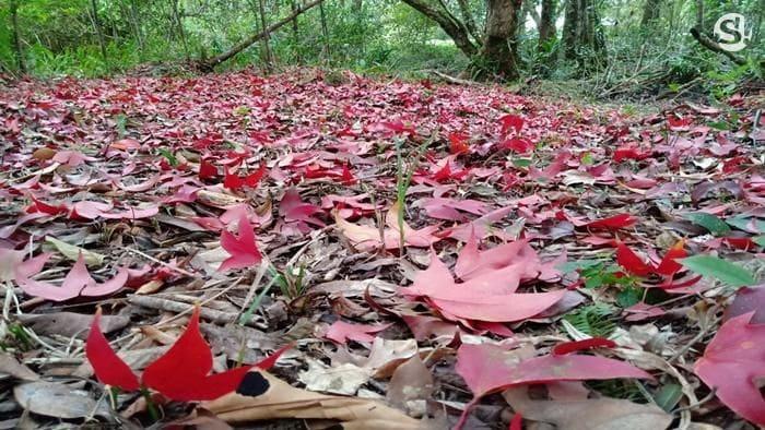 ท่องเที่ยวไทย : ใบเมเปิ้ลแดงผลิใบสะพรั่งเต็มเขตรักษาพันธุ์สัตว์ป่า จ.เลย | News by The Thaiger