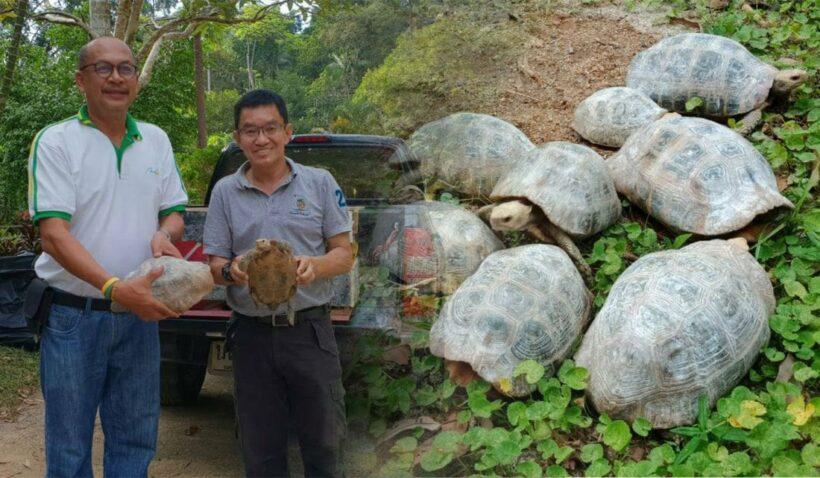 ภูเก็ตส่งมอบเต่าเหลือง 8 ตัวให้สถานีเพาะเลี้ยงสัตว์ป่าพัทลุง หลังพบหลงเข้าบ้านชาวบ้าน   The Thaiger
