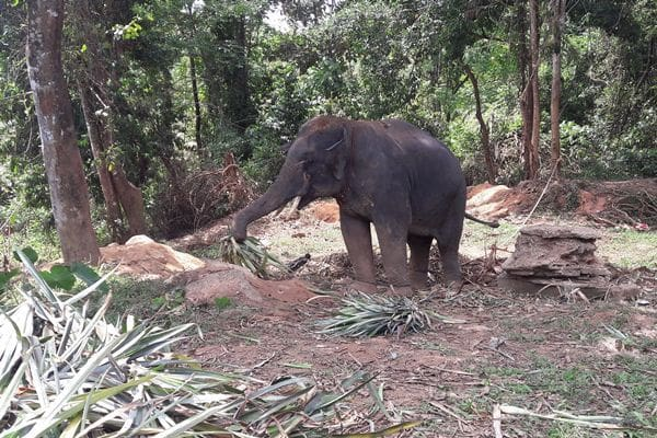 Mahout charged after Italian tourists injured from elephant attack | News by Thaiger