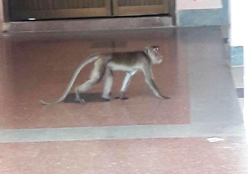 Attack of the macaques - Krabi's monkeys invade school | News by Thaiger