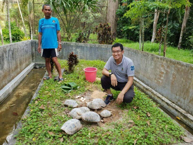 ภูเก็ตส่งมอบเต่าเหลือง 8 ตัวให้สถานีเพาะเลี้ยงสัตว์ป่าพัทลุง หลังพบหลงเข้าบ้านชาวบ้าน   News by The Thaiger