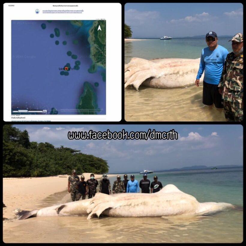 Whale shark carcass found on Satun Beach | News by Thaiger
