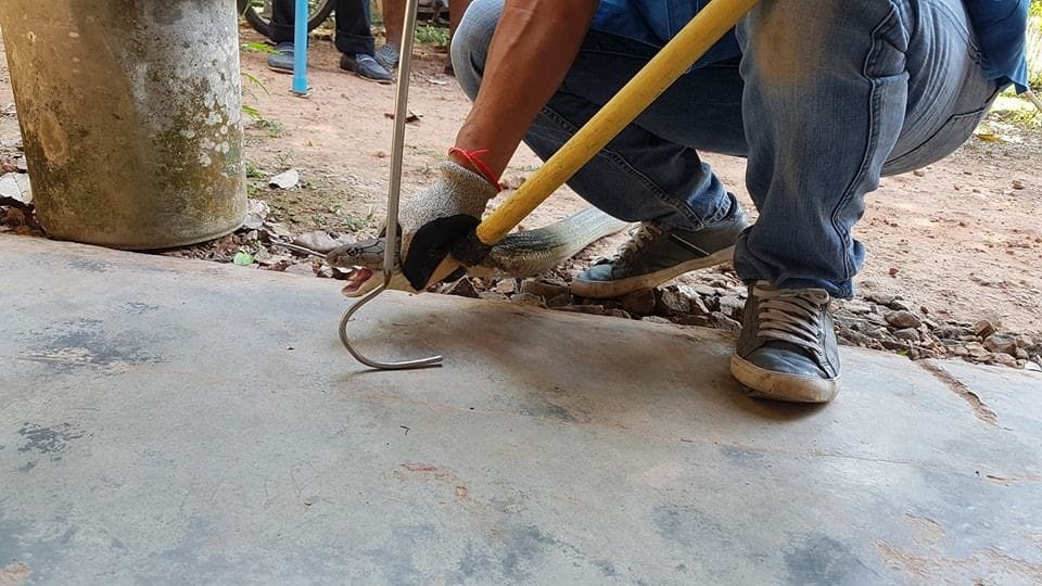 Injured king cobra caught in Trang | News by The Thaiger