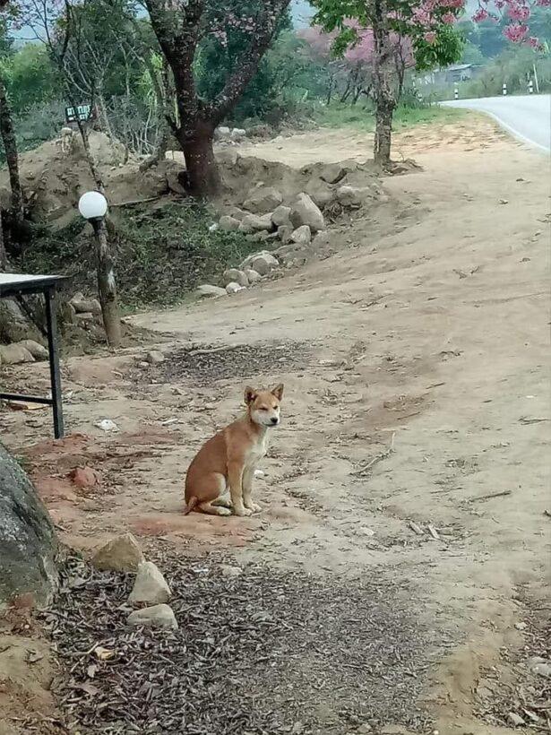 """โพสต์สะเทือนใจ เจ้าของมาเที่ยว""""ผาซากุระ"""" แอบทิ้งน้องหมาไว้ ออกมานั่งรอเจ้านายทุกวัน   The Thaiger"""