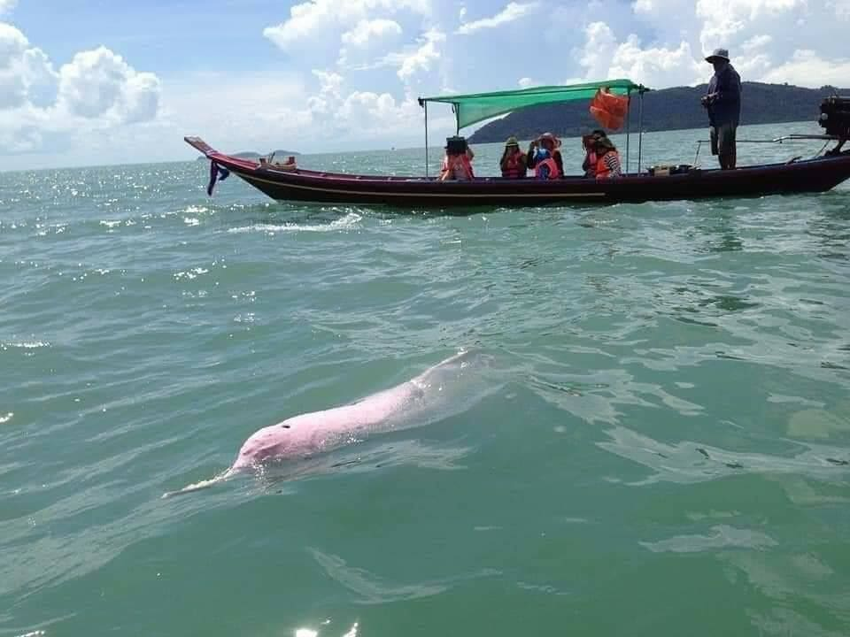 Sightings of pink dolphins off coast of Nakhon Si Thammarat | News by The Thaiger