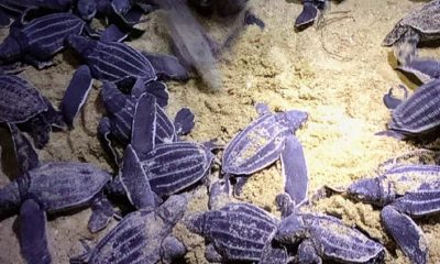 49 baby leatherback sea turtles hatched on Phang Nga Beach – VIDEOS | The Thaiger