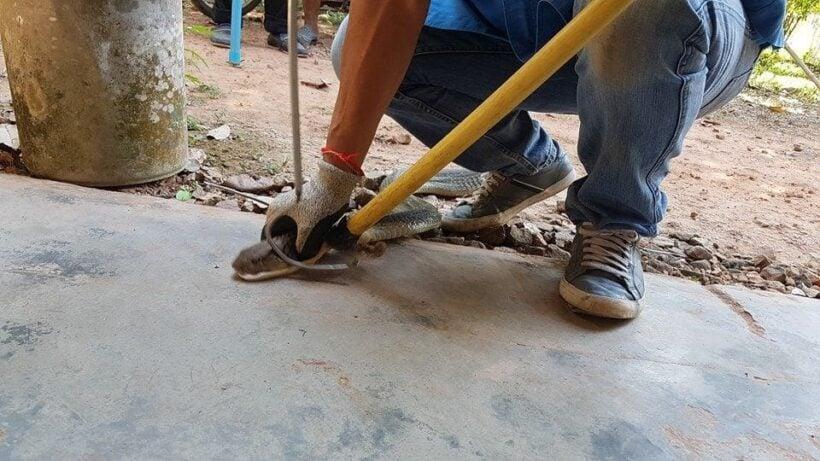 Injured three metre king cobra caught in Krabi | News by Thaiger