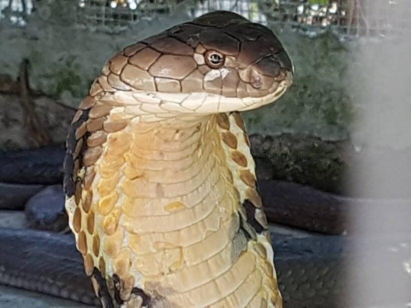Injured three metre king cobra caught in Krabi | The Thaiger