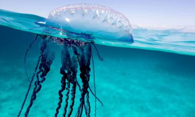 Beware: Dangerous jellyfish. Just don't tell the Chinese. | The Thaiger