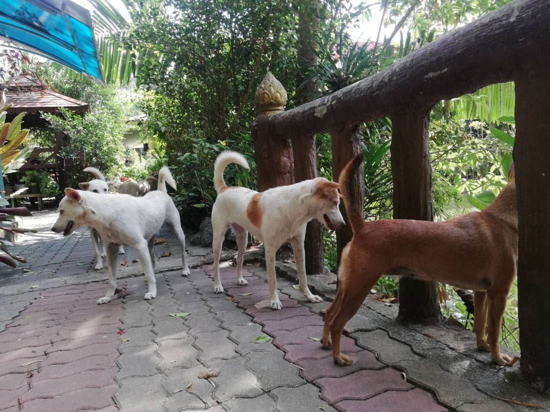 Another dog tests positive for rabies in Krabi | News by Thaiger