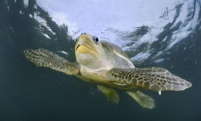 Ridley sea turtles return to Phang Nga for breeding | The Thaiger