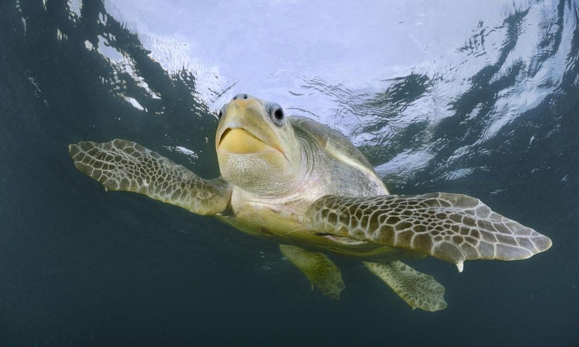 Ridley sea turtles return to Phang Nga for breeding | The Thaiger