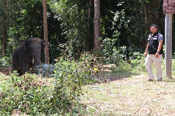 Mahout charged after Italian tourists injured from elephant attack | News by The Thaiger