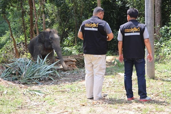 Mahout charged after Italian tourists injured from elephant attack | The Thaiger