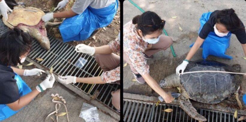 Plastic garbage found inside dead sea turtle in Chon Buri   The Thaiger