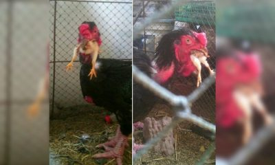 สุดสยอง! ไก่ผีปอบ เขมือบลูกเจี๊ยบทั้งตัว ทั้ง ๆที่เจ้าของเลี้ยงจนพุงห้อย | The Thaiger
