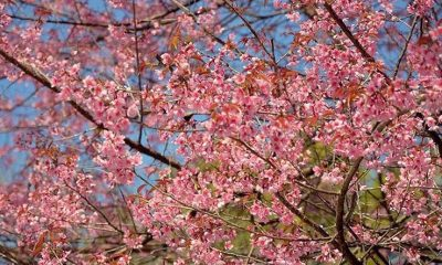 Nan blossoms in pink splendour | The Thaiger