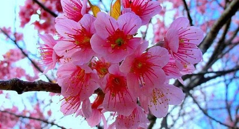 Nan blossoms in pink splendour | News by The Thaiger
