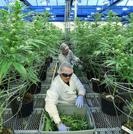 The legalisation of marijuana for medical purposes, is now in effect | The Thaiger