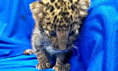 Leopard cub smuggled on a Thai Airways flight from Bangkok to India | The Thaiger