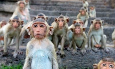 400 marauding macaques invade plantations in Surat Thani | The Thaiger