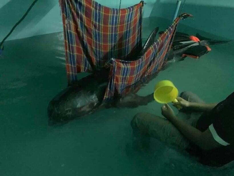 เจ้าหน้าที่กลุ่มสัตว์ทะเลหายาก ศวทม. เร่งช่วยเหลือโลมาริซโซส์ สายพันธุ์หายาก หลังพบเกยตื้นหาดไร่เลย์ | News by The Thaiger