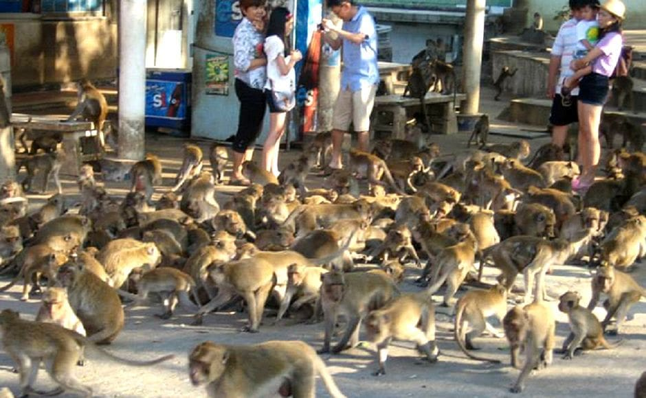 400 marauding macaques invade plantations in Surat Thani | News by The Thaiger