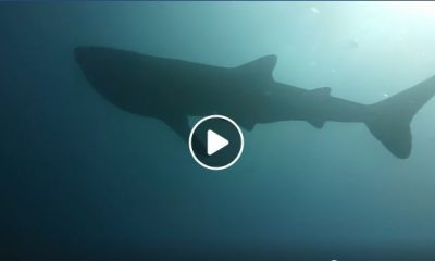 Whale shark sighted off Phang Nga – VIDEO | The Thaiger