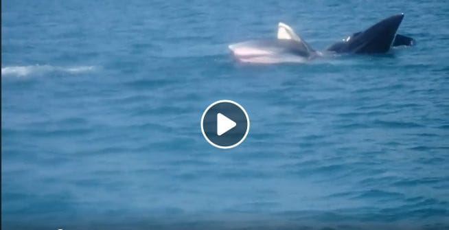 Bryde's whale family sighted off Chumphon coast – VIDEO   The Thaiger