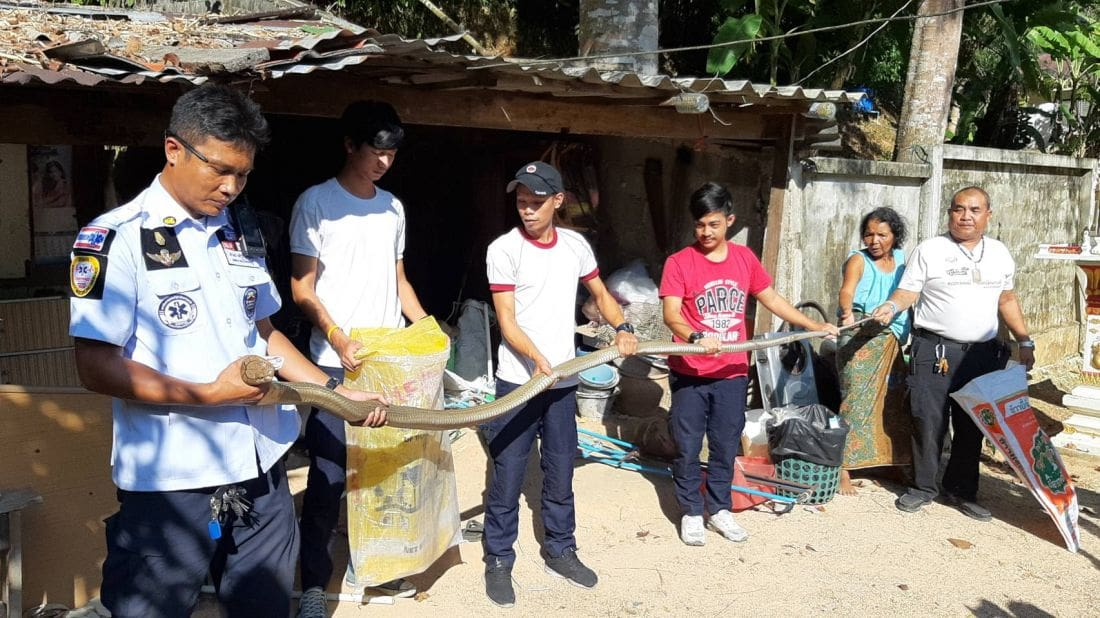 Two more king cobras caught in Kathu, Phuket – VIDEO | The Thaiger