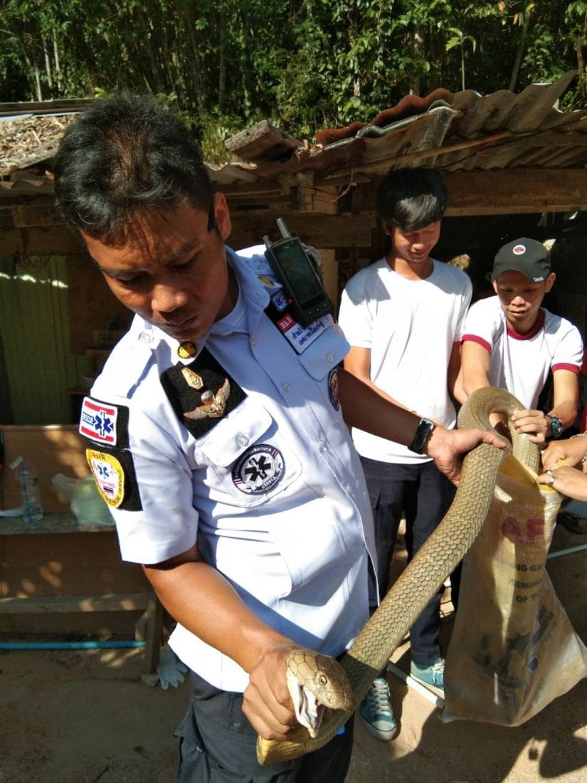 Two more king cobras caught in Kathu, Phuket - VIDEO | News by Thaiger