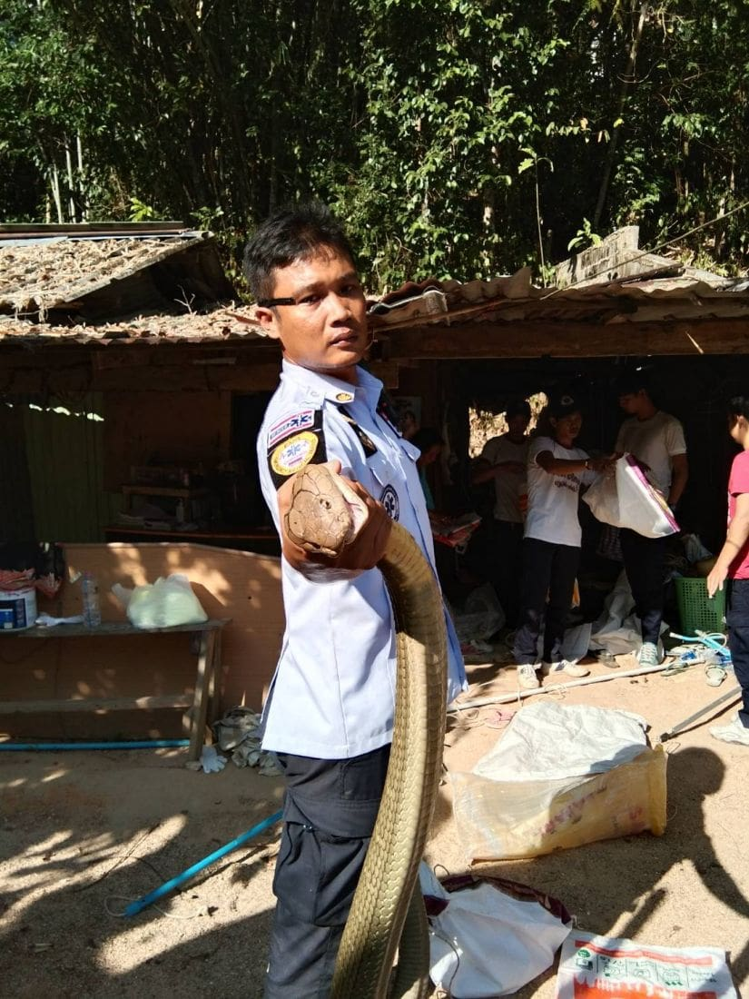 Two more king cobras caught in Kathu, Phuket - VIDEO | News by The Thaiger