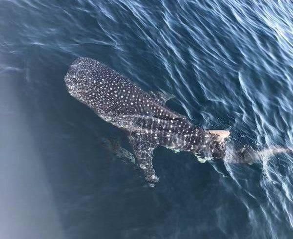 นักเที่ยวชาวจีน เฮ ! ฉลามวาฬว่ายน้ำอวดโฉม พบบ่อยขึ้นในฝั่งทะเลอันดามัน | News by The Thaiger