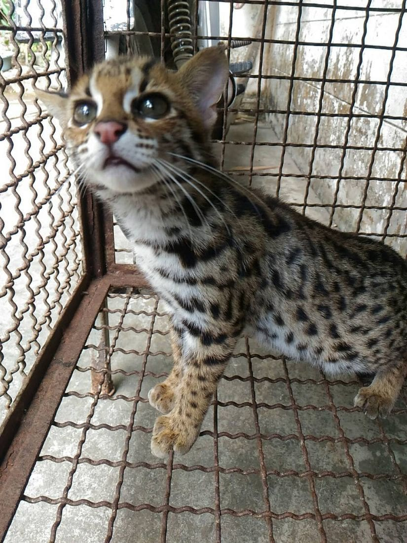 Leopard cat found dumped in plastic box in Kathu | News by The Thaiger