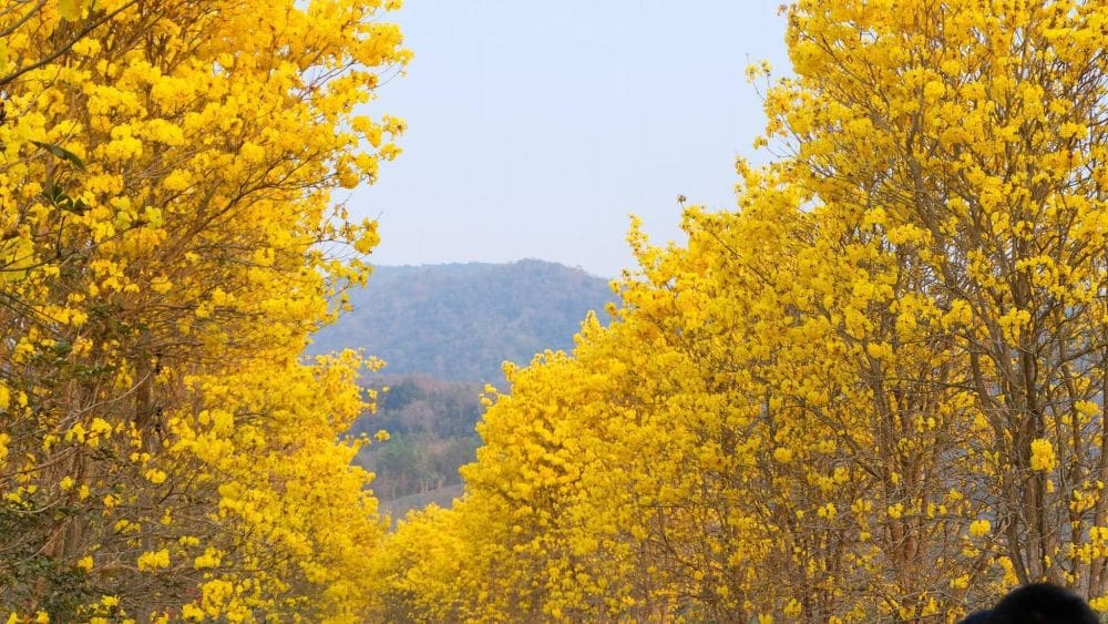Tourists head to Nan for stunning yellow blossoms | News by Thaiger