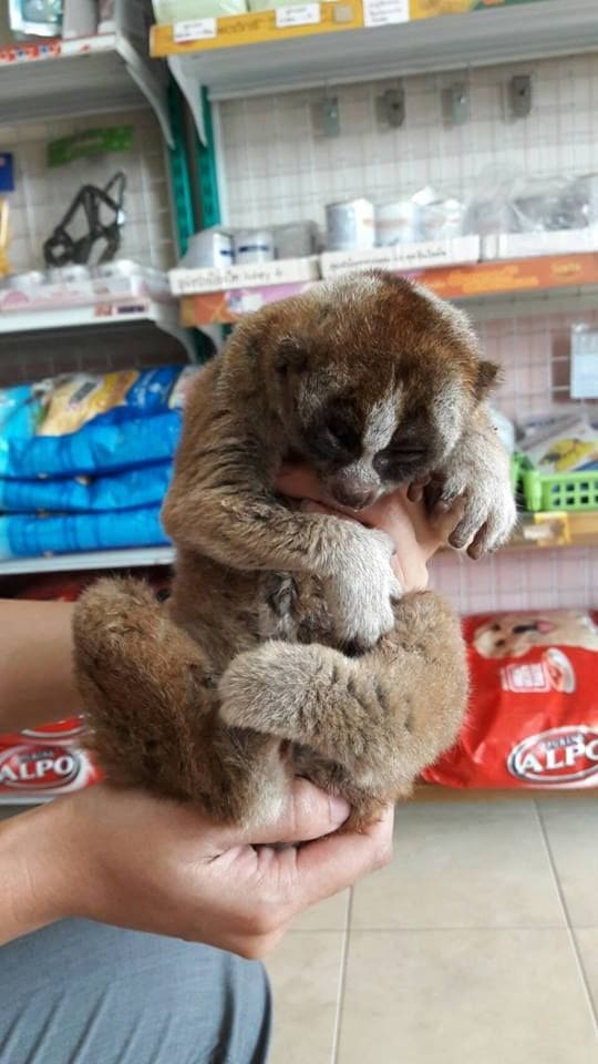 Baby flying lemur and injured slow loris rescued in Phuket | News by The Thaiger