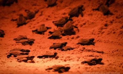 68 Ridley's sea turtles hatched on Phang Nga beach – VIDEO | The Thaiger