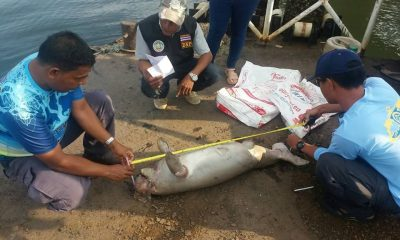 Dead dugong washed up on Trang Beach | The Thaiger