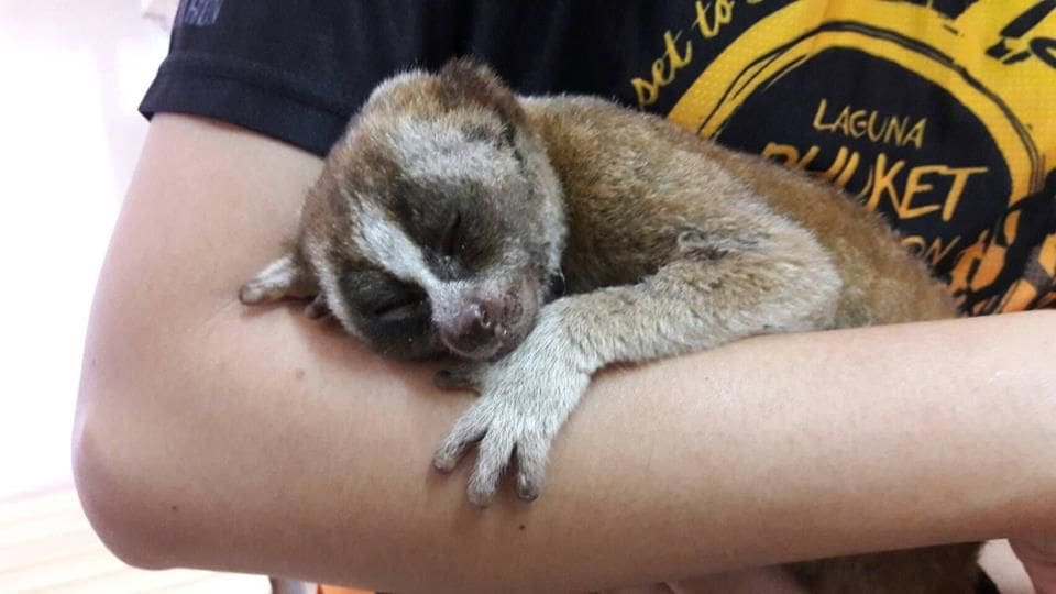 Baby flying lemur and injured slow loris rescued in Phuket | The Thaiger